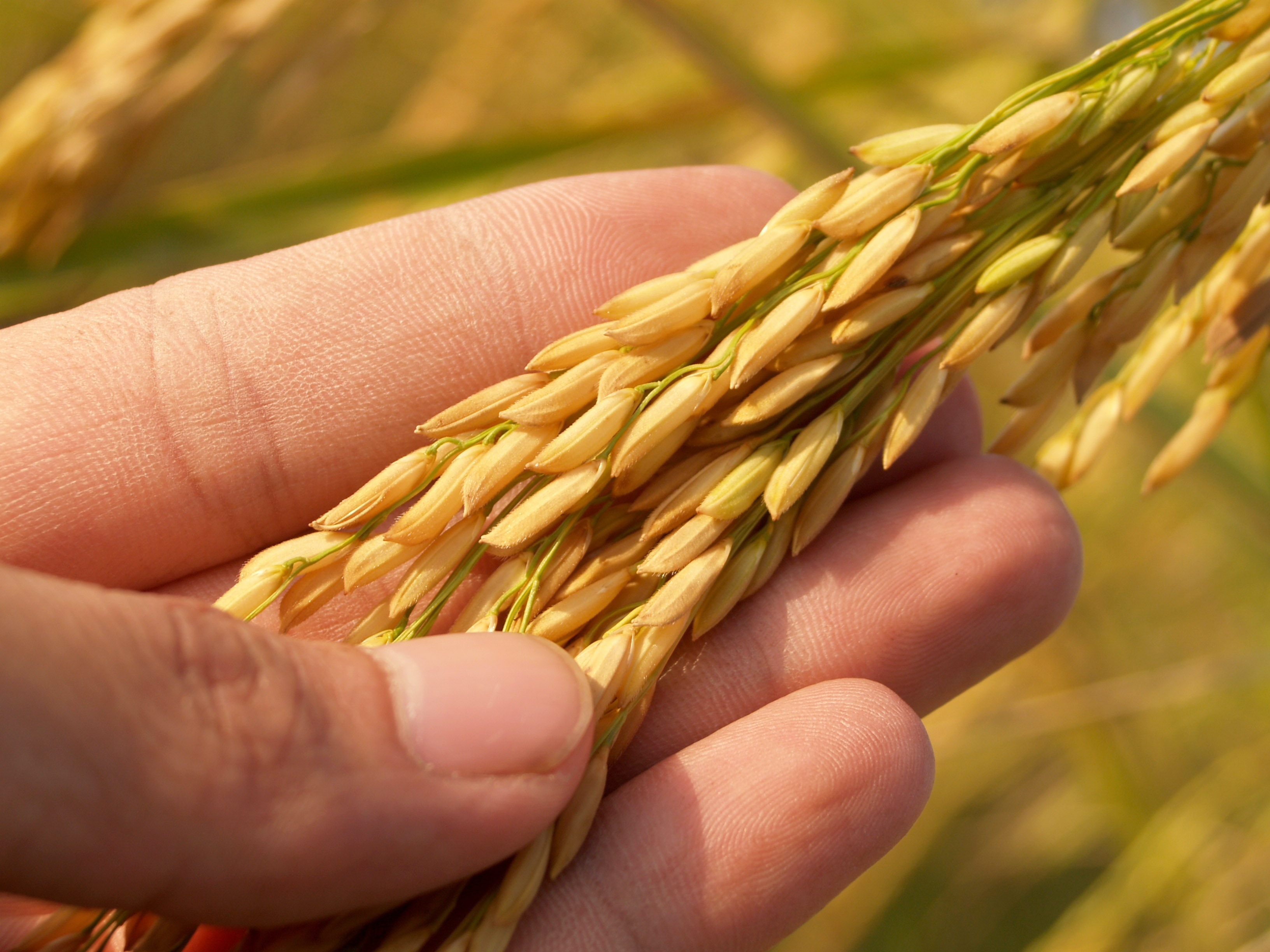A rice plant showing mature grains