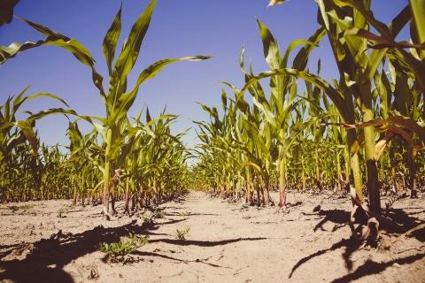 Corn (maize) plants in a field